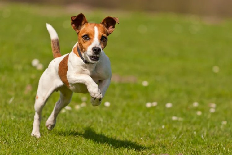 Jack Russel jumping.