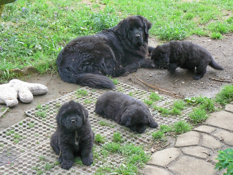 Newfoundland Puppies 4