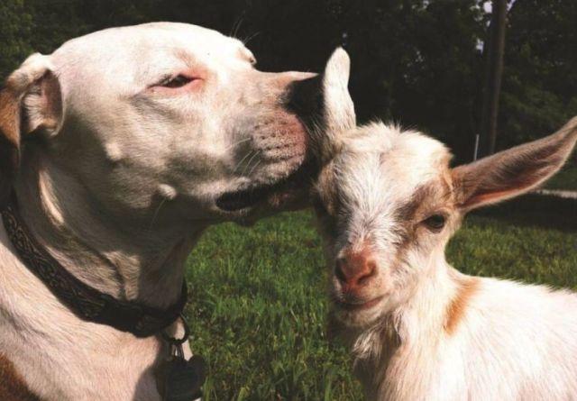 Pit Bull kissing goat