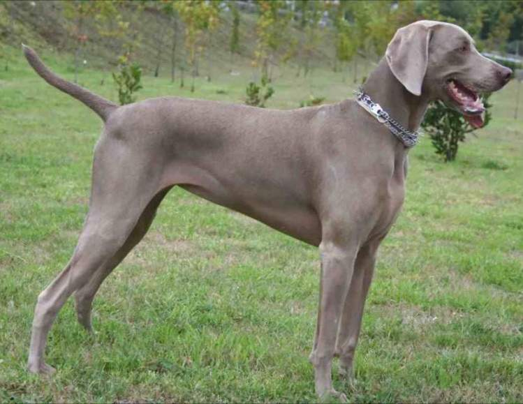 20 Things That Only Weimaraner Owners Would Understand