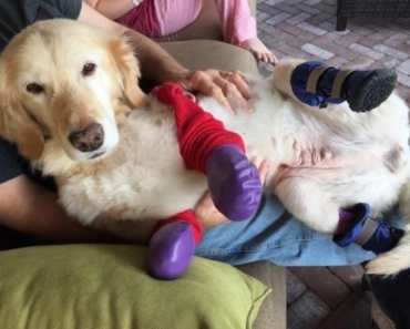 Golden Retriever Gets Four New Legs After Losing Paws