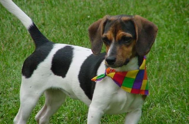 Beagle Dachshund Mix Five Things You Didnt Know
