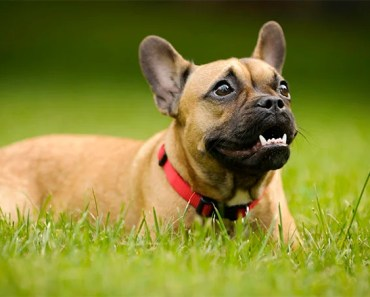 5 Reasons We Love The French Bulldog Rescue Network
