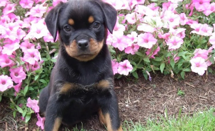 Miniature Rottweiler: 5 Special Tips for Care