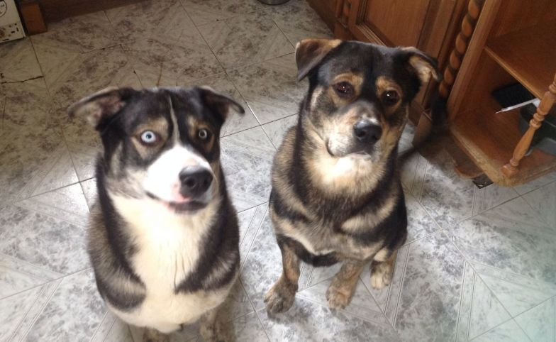 Rottweiler Husky Mix: Five Things You Didn't Know