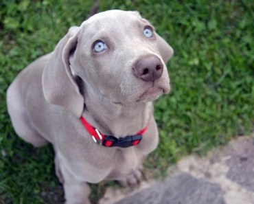 Weimaraner Dog Breed: Five Things to Avoid