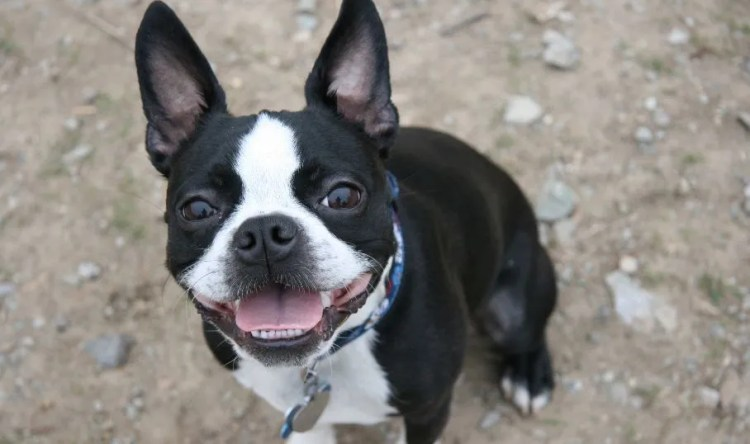 Boston Terrier Temperament Everything You Need To Know