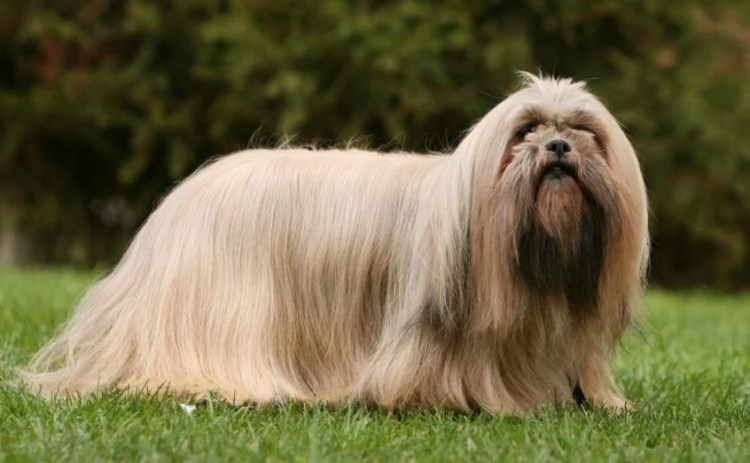 Image result for LHASA APSO