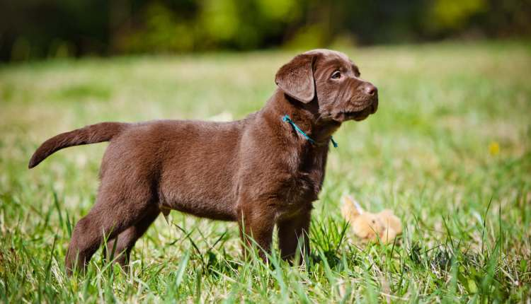 The Five Most Popular Labrador Breeds In The U S