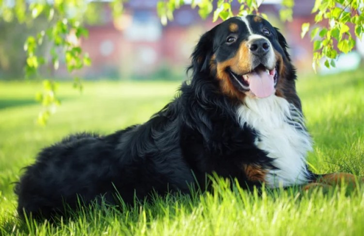 7 Questions You Should Ask Bernese Mountain Dog Breeders