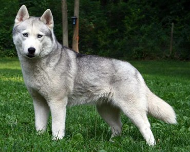7 Special Tips For Taking Care of a Siberian Husky