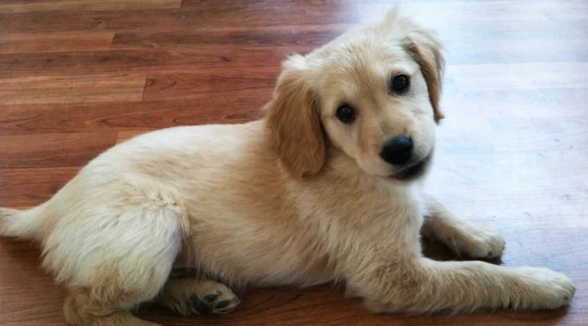What Is The Golden Retriever Lifetime Study?