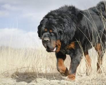 Tibetan Mastiff Temperament: 5 Things You Need to Know