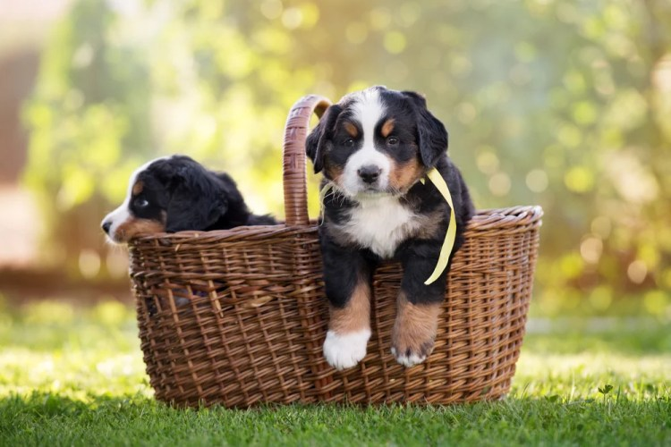 7 Special Tips For Taking Care Of Bernese Mountain Dog Puppies