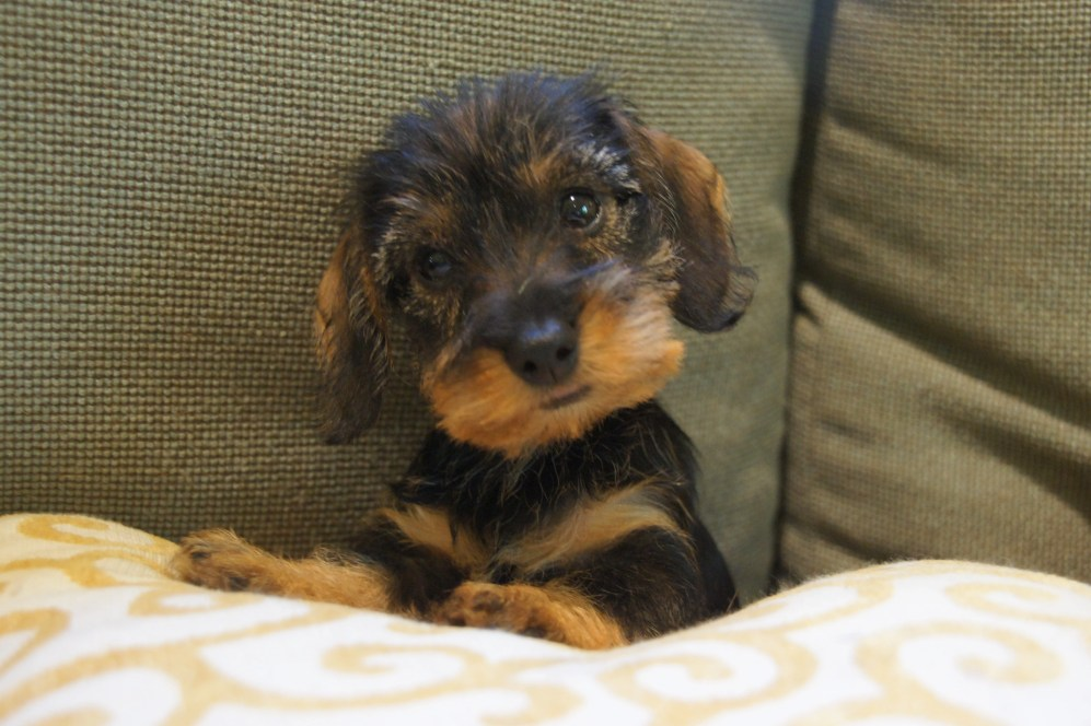 Seven Things You Didn't Know about the Wire Haired Dachshund