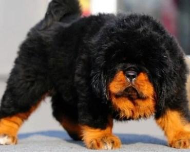 The Cutest Tibetan Mastiff Puppies Videos of 2017