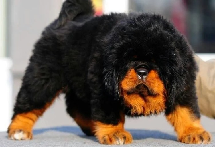 The Cutest Tibetan Mastiff Puppies Videos of 2017