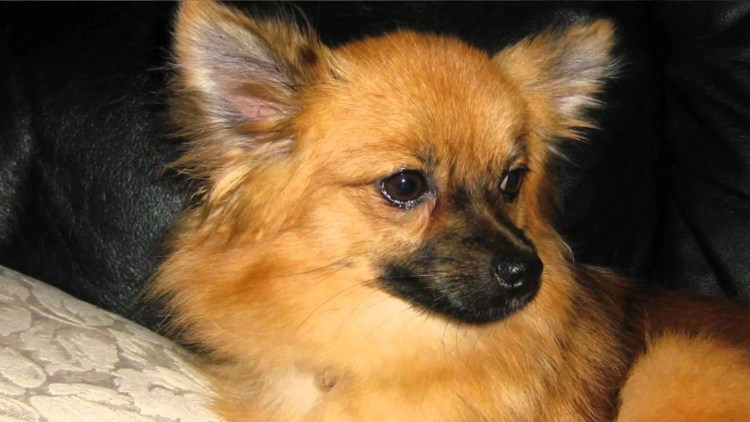 7 Things You Didnt Know About The Pomeranian Chihuahua