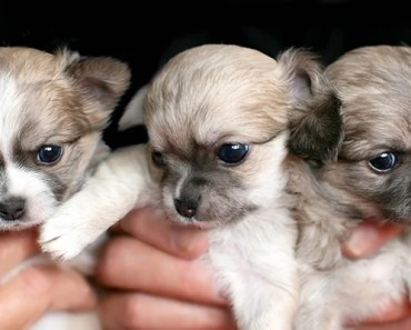 The Cutest Chihuahua Puppies Videos of 2017