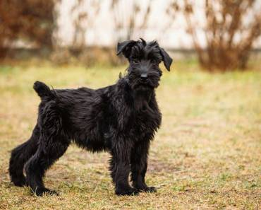 Five Adorable Videos of Giant Schnauzer Puppies