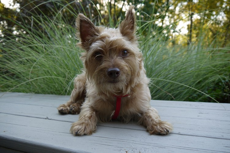 20 Cool Facts You Didn't Know about the Yorkshire Terrier