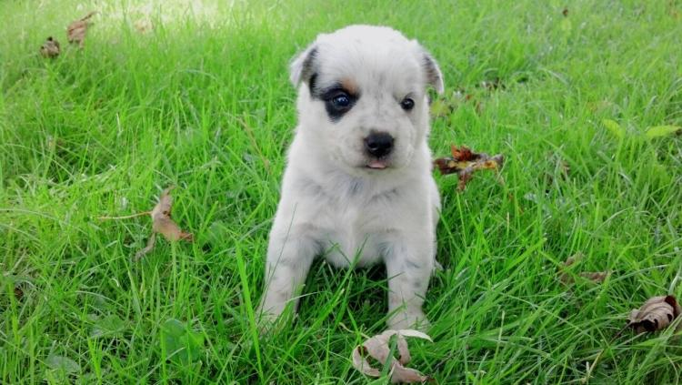 7 Special Care Tips for Blue Heeler Puppies