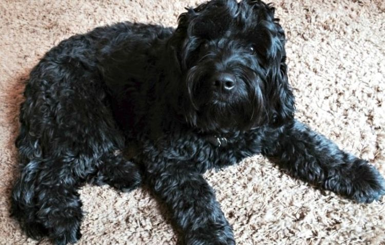 The Black Goldendoodle: Five Things You Didn't Know