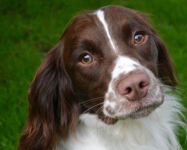 The Most Adorable Springer Spaniel Videos of 2017