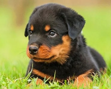 20 Fun Facts You Didn't Know About Rottweilers