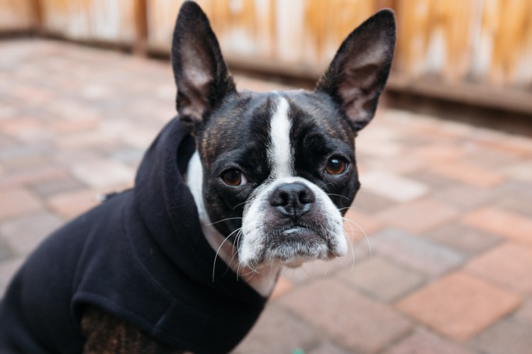 20 Cool Facts About The Boston Terrier Breed