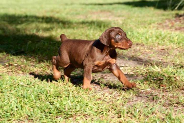 20 Cool Facts You Didn't Know About the Doberman Pinscher