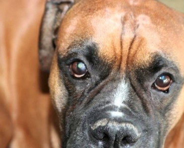 What is a Dog Eye Ulcer and How is It Treated?