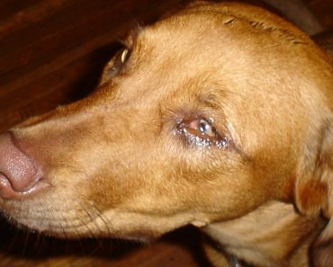 What is Uveitis in Dogs and How is It Treated?