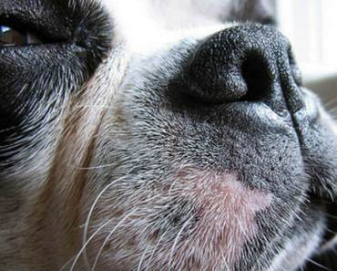 Why Do Dog Whiskers Fall Out?