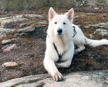 10 Things You Didn't Know About The Berger Blanc Suisse