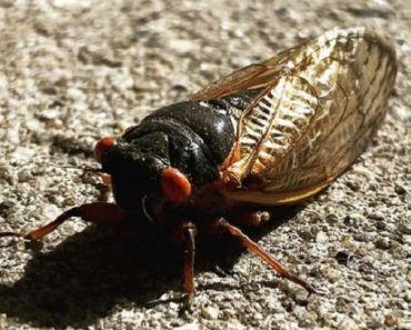 Can Dogs Eat Cicadas?