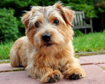 The Top Five Norfolk Terrier Mixes
