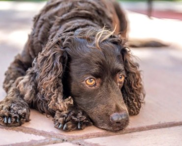 10 Things You Didn't Know About the American Water Spaniel