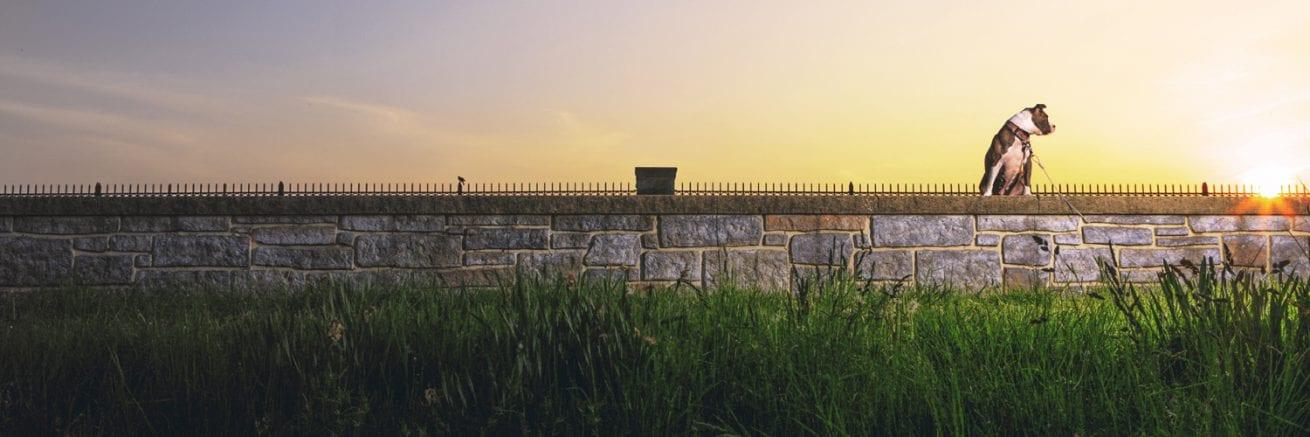 bright pitbull sage on baltimore wall stone reservoir