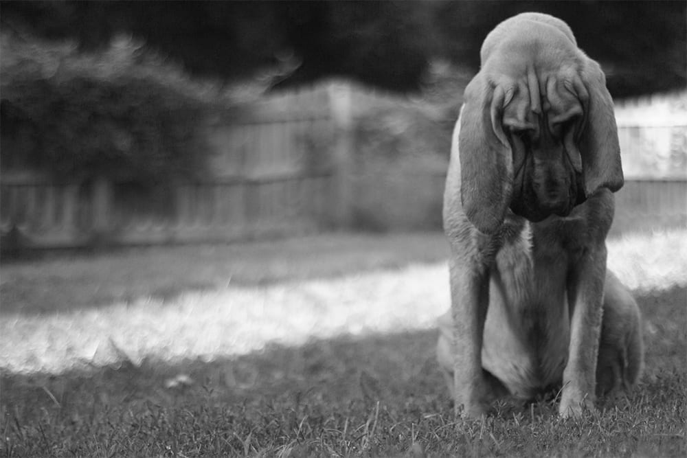 a bloodhound picture in a yard