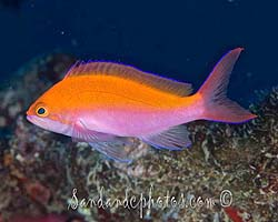 Critters - bicolor anthias 4