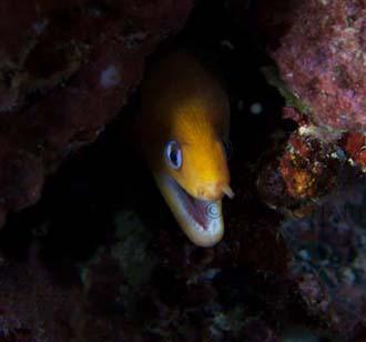 Critters - golden dwarf moray 2