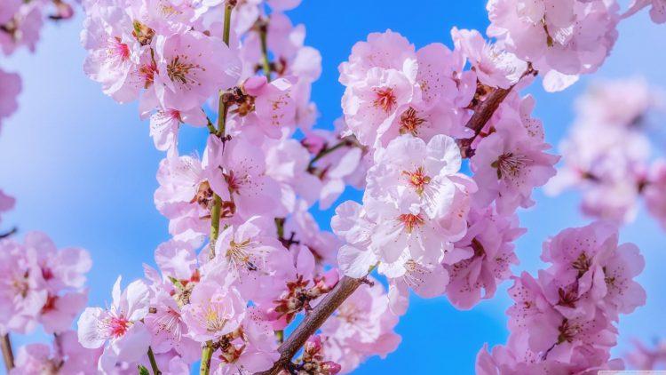 cara menanam Bunga Sakura