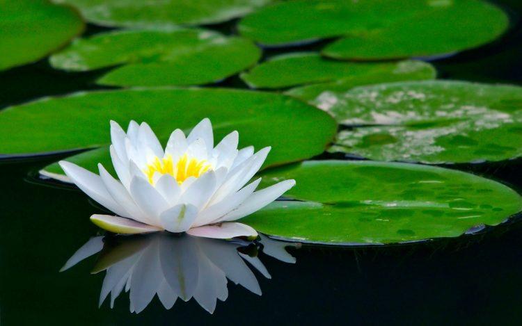 mengenal Bunga Teratai