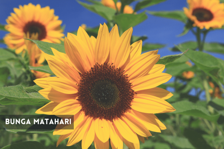 cara menanam bunga matahari