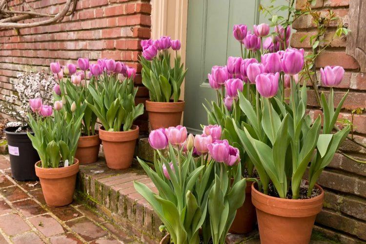 jenis bunga tulip
