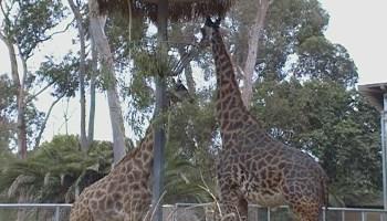 San Diego Zoo Videos - Pura Vida Culture