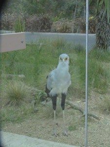 Large Secretary Bird