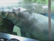 Hippopotamus under Water