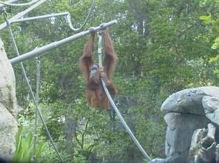 Orangutan on ropes